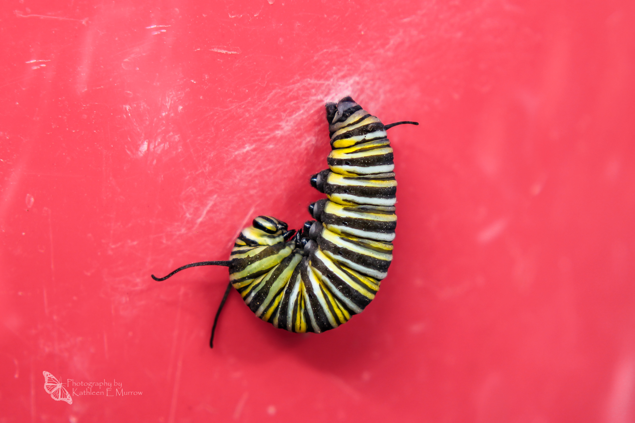 A fifth-instar monarch caterpillar hanging in a J, attached to its silk mat, on a red background