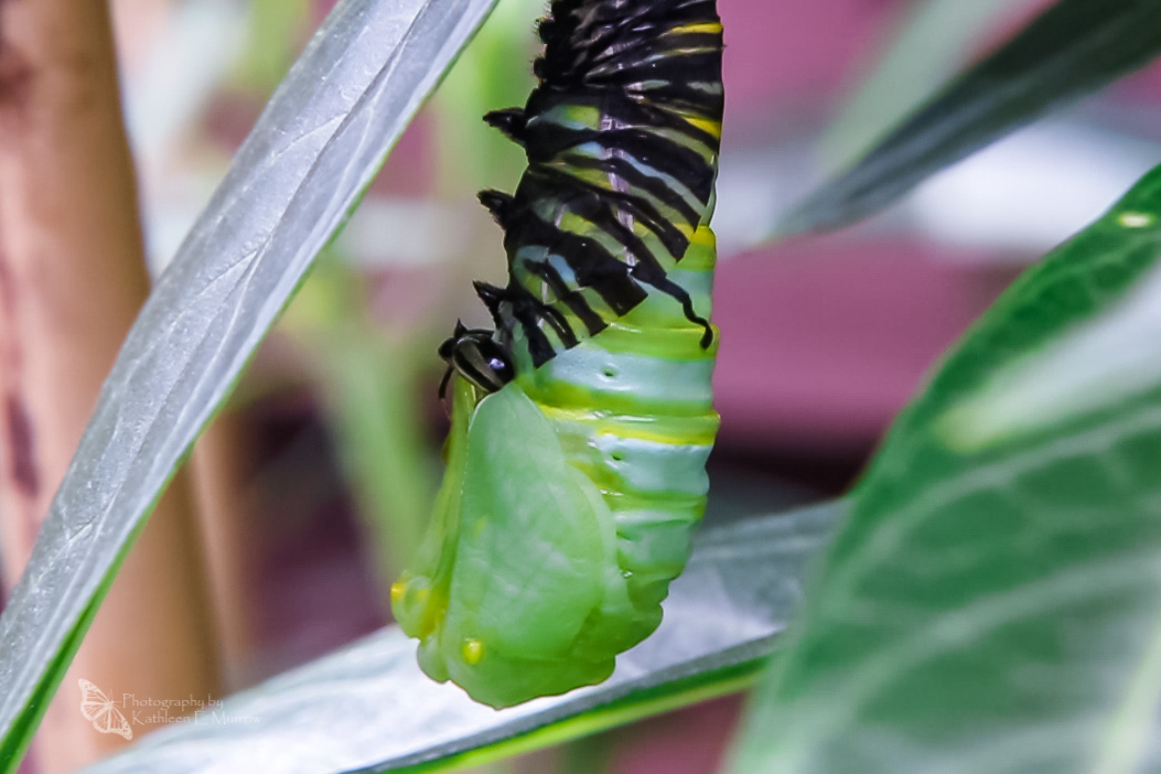 A monarch caterpillar pupating, showing the pupa part-way out of its skin and wing shapes visible