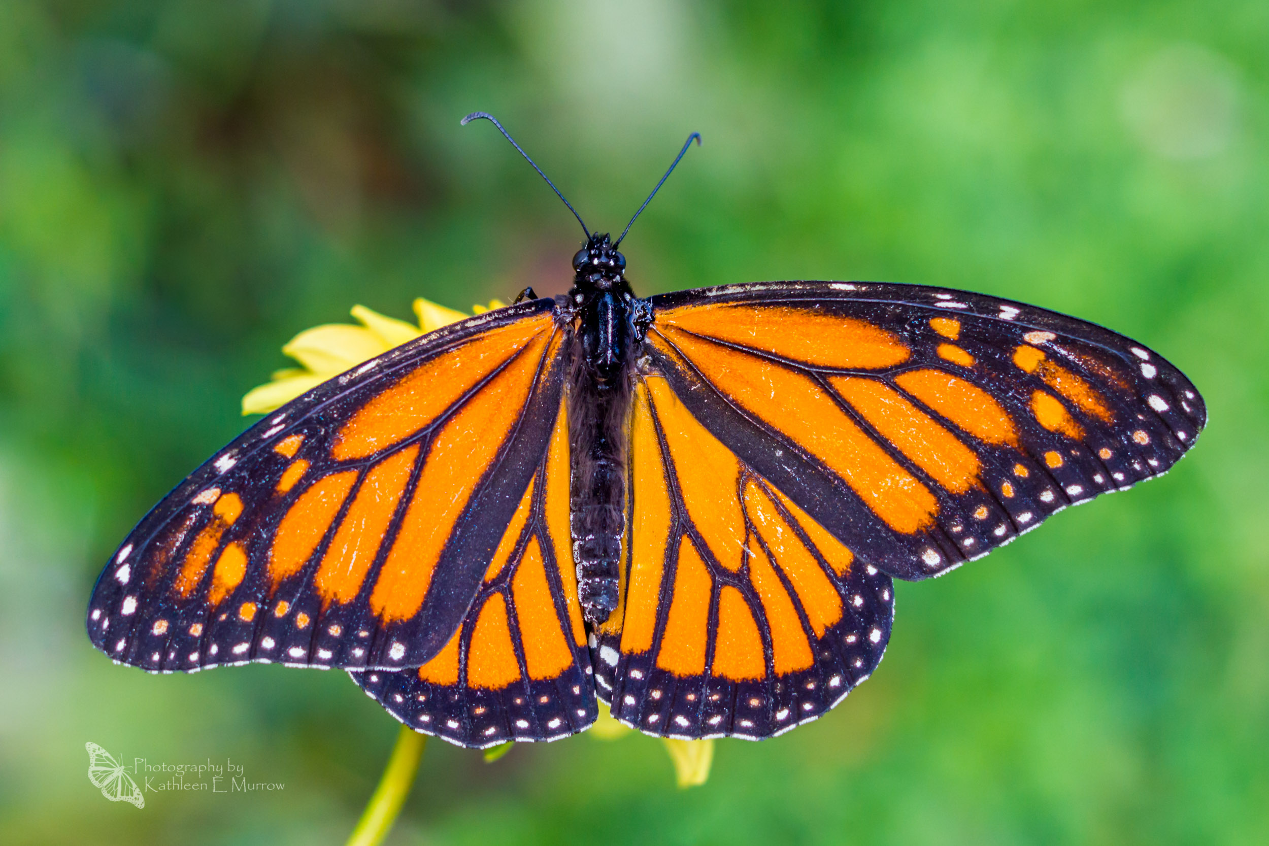 A female monarch butterfly with her wings spread on a dahlia