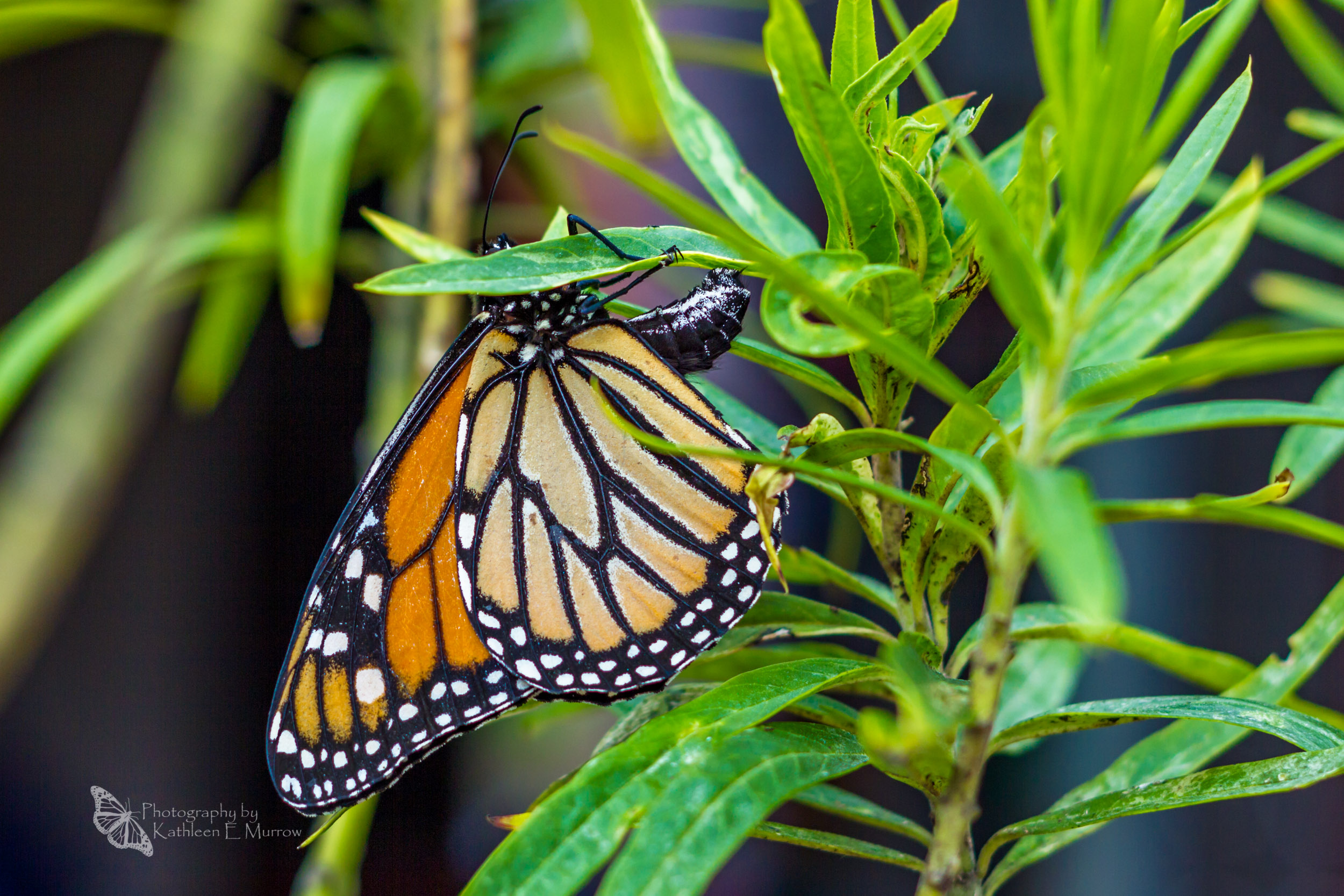 A (partly obscured, female) monarch butterfly laying an egg on the underside of a swan plant leaf