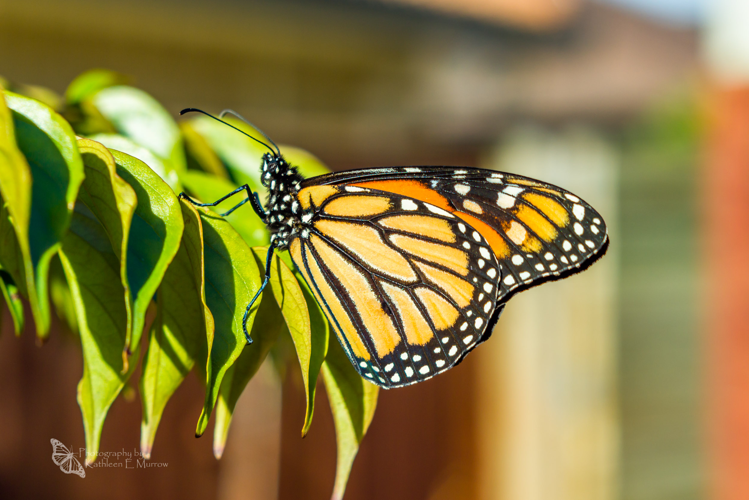 A new (male) monarch butterfly rests in the sun, on the leaves of a tree