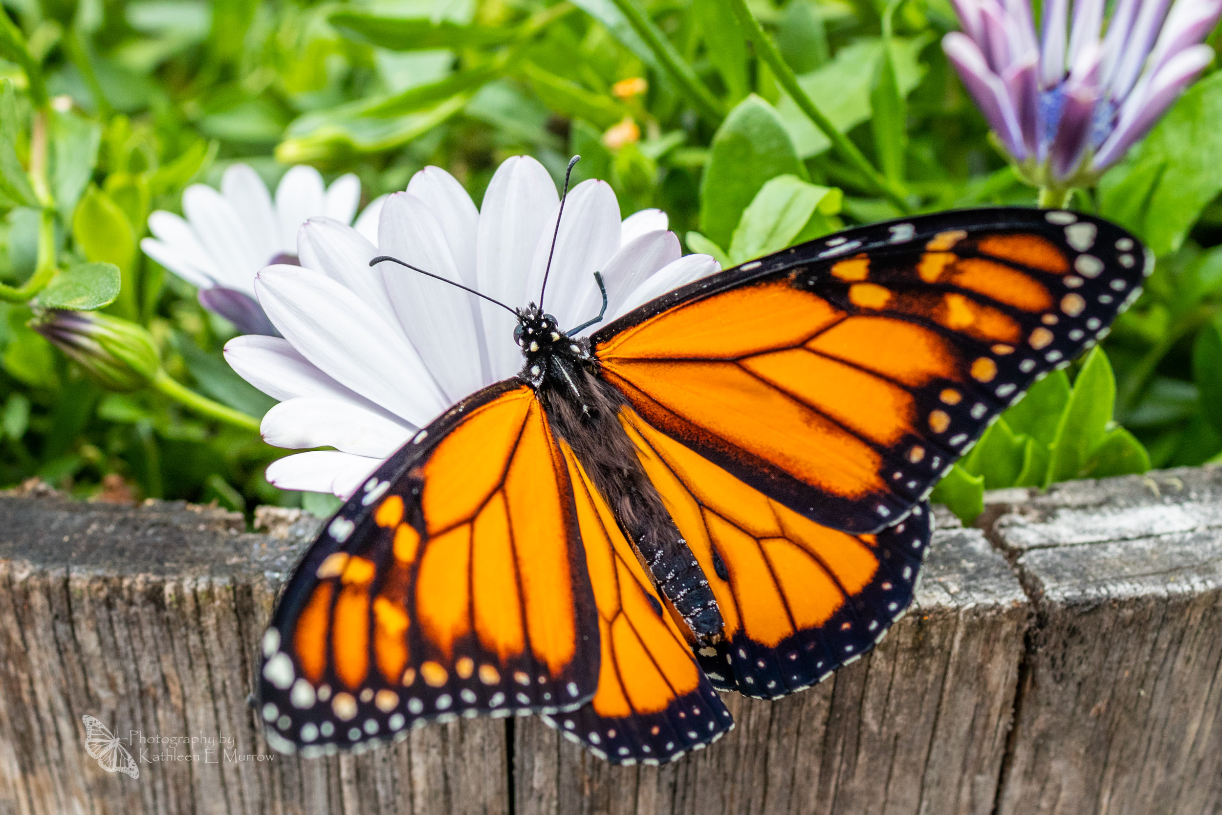 A male monarch butterfly, wings spread, perched on the edge of a wooden planter box, with white and purple daisies