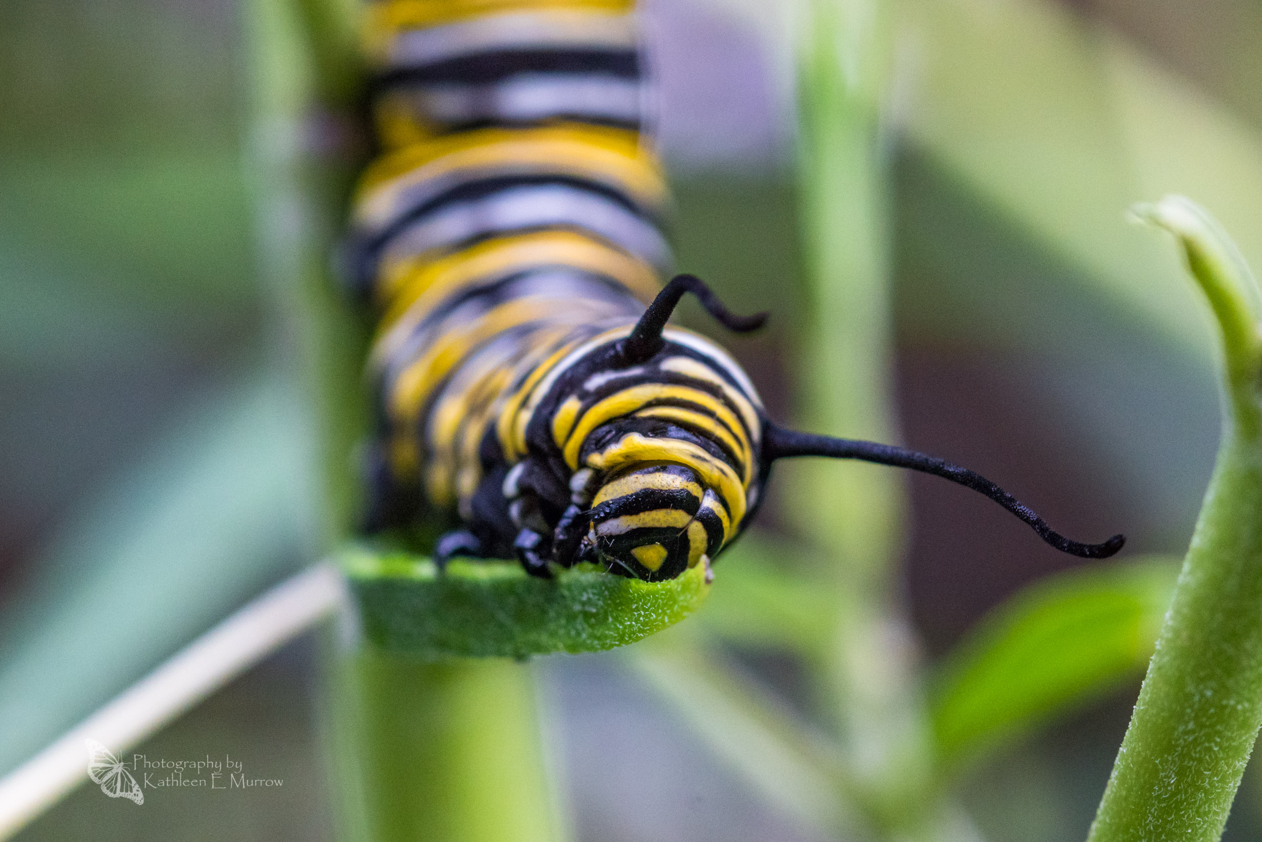 A close-up of a fifth-instar monarch caterpillar eating a swan plant leaf