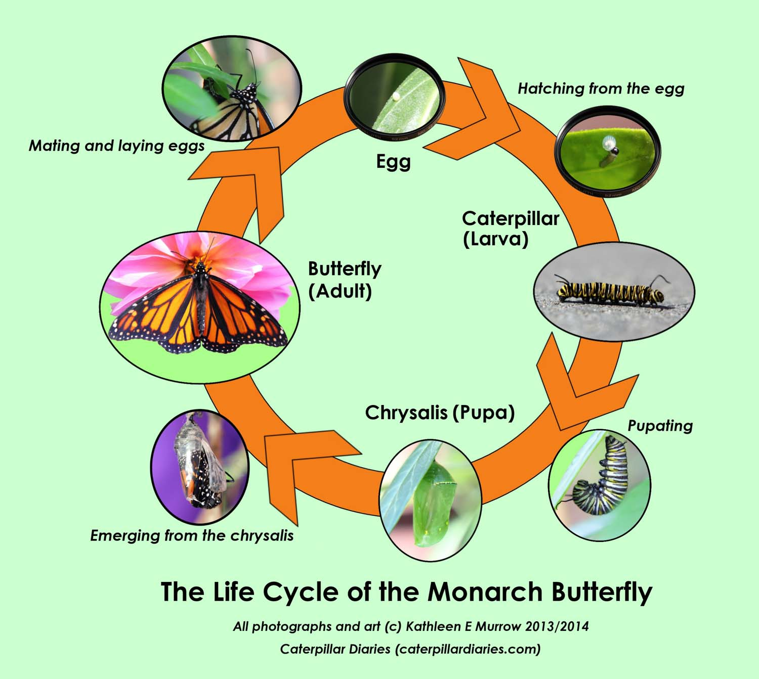 A diagram of the life cycle of the monarch butterfly showing all the stages and transitions: egg, hatching, caterpillar (larva), pupating, chrysalis (pupa), elcosing (emerging), butterfly (adult), and mating and laying eggs