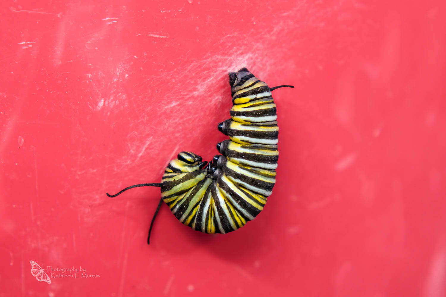 A fifth instar caterpillar of the monarch butterfly hanging in a J, attached to its silk mat, on a red background