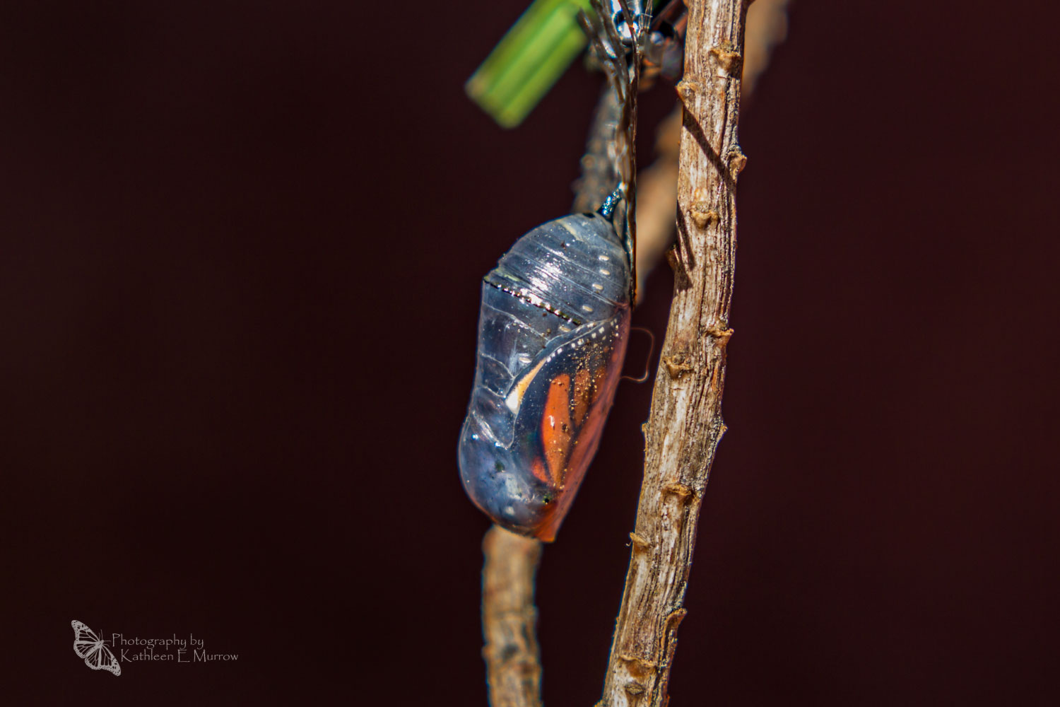 A monarch butterfly chrysalis, attached to a stick, with black and orange wings showing beneath the cuticle (casing) of the chrysalis