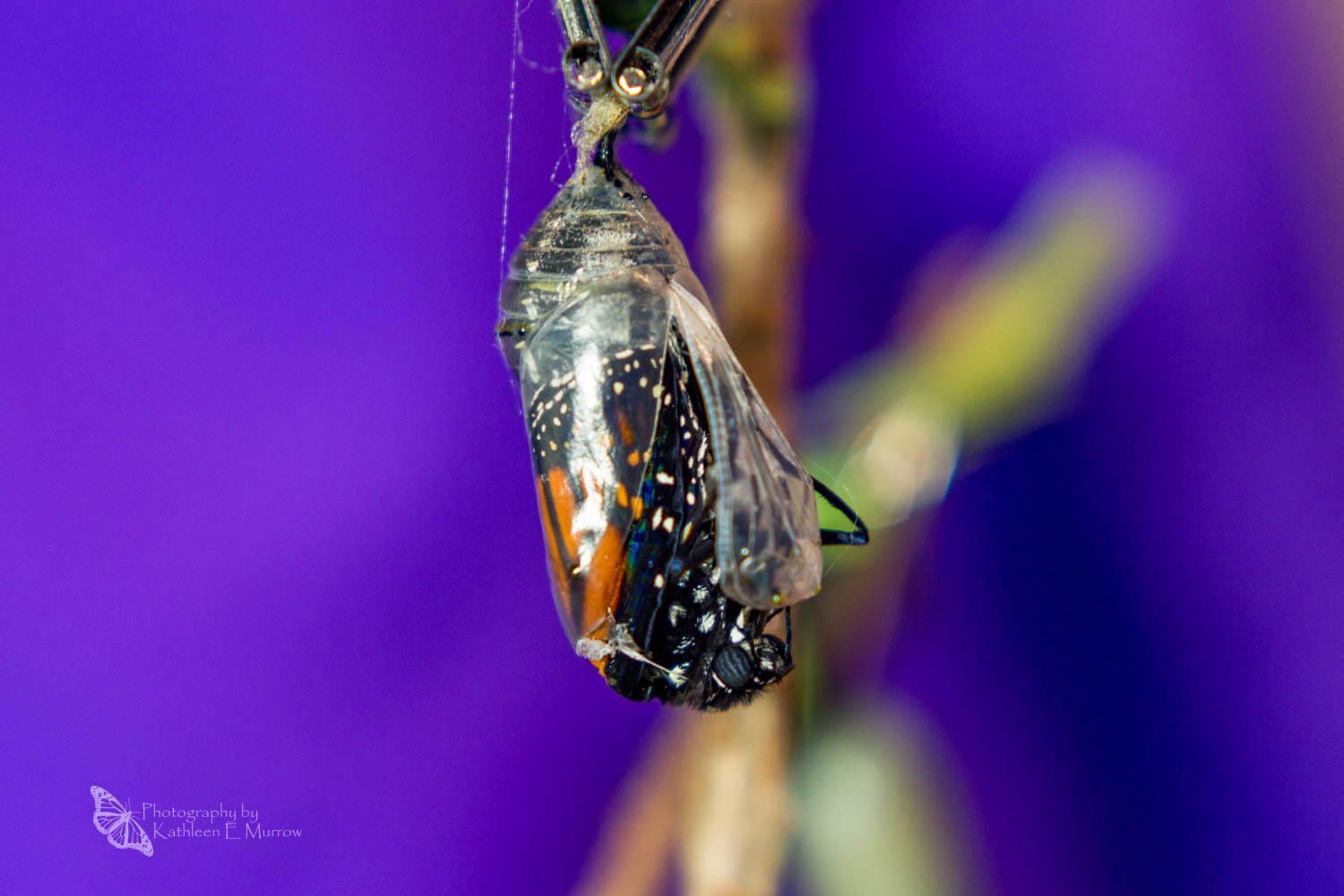 A monarch butterfly beginning to eclose (emerge from its chrysalis)