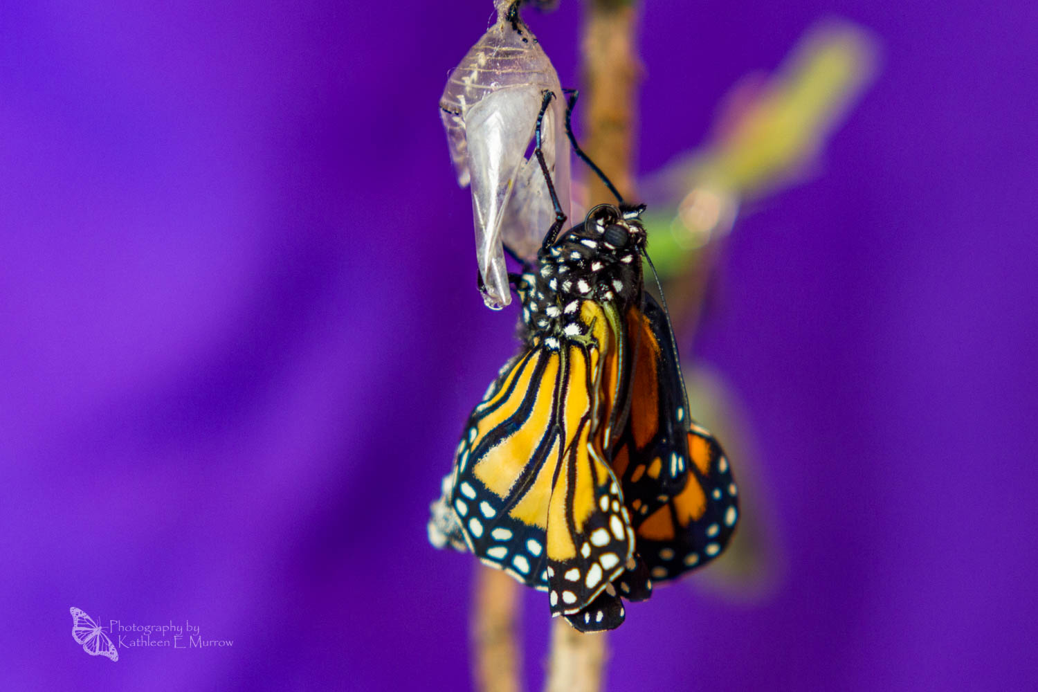 A monarch butterfly, freshly eclosed (emerged from its chrysalis), hangs from its empty chrysalis, its wings still crumpled