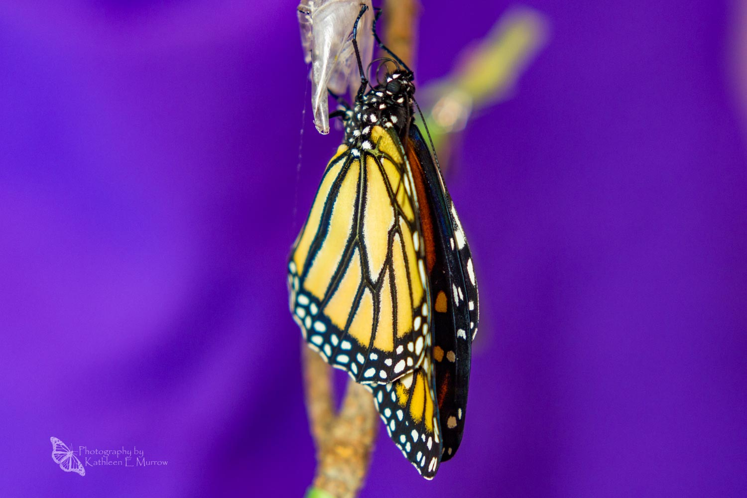 A monarch butterfly that has just eclosed (emerged from its chrysalis) drying its wings