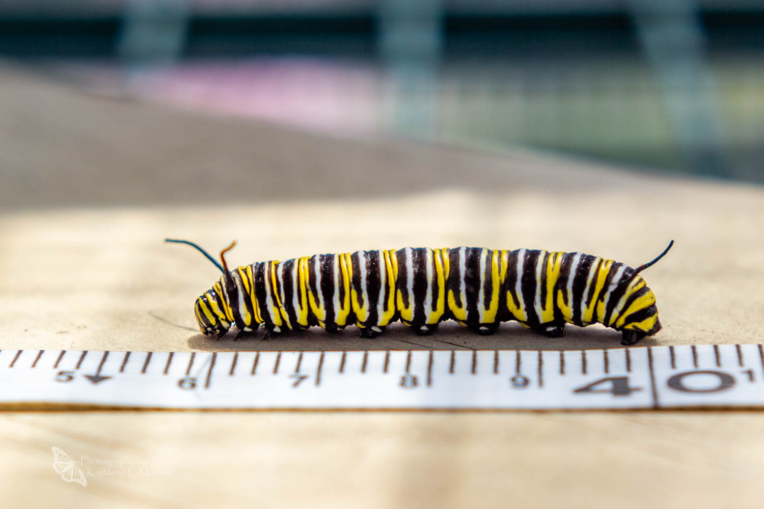 A fifth instar caterpillar of the monarch butterfly alongside a white measuring tape