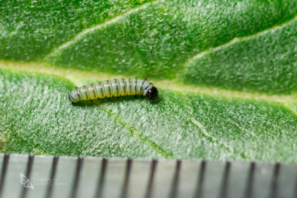 A first instar caterpillar of the monarch butterfly, with a black head and pale brown stripes on its grey body, on a leaf