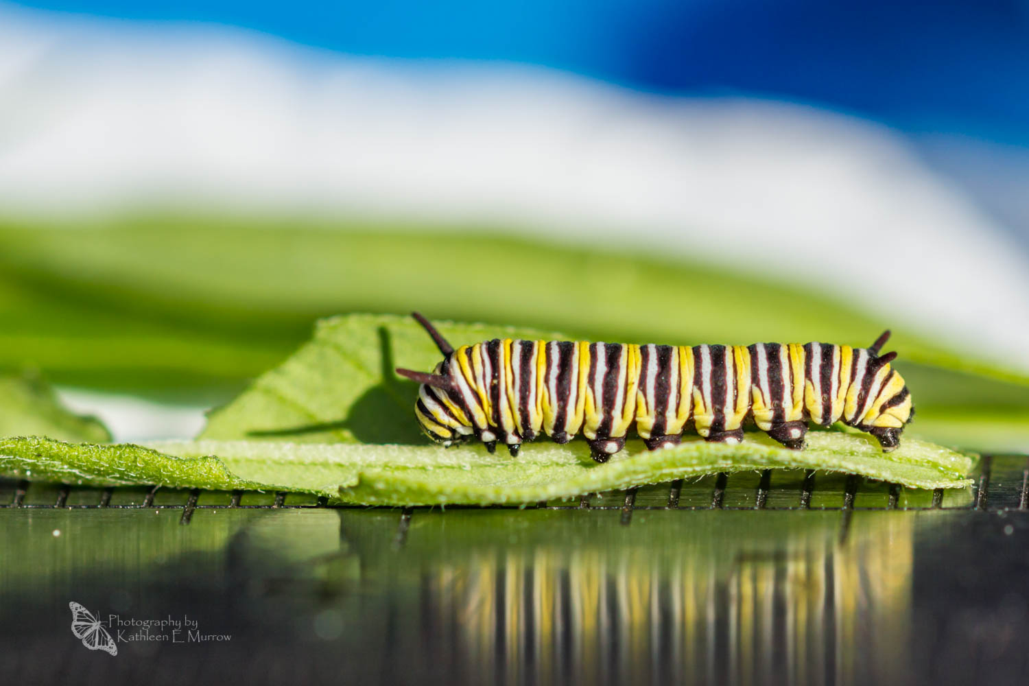 A third instar caterpillar of the monarch butterfly on a leaf, its black, white, and yellow stripes reflected in a metal ruler