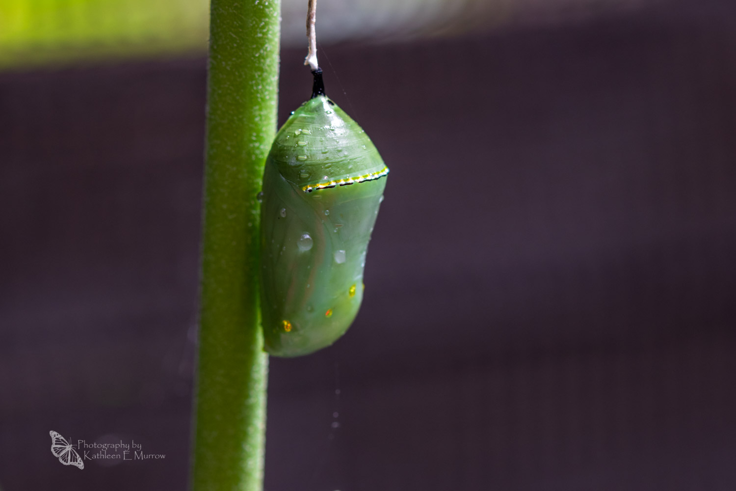 A green and gold chrysalis of the monarch butterfly, with details visible and water droplets on its surface