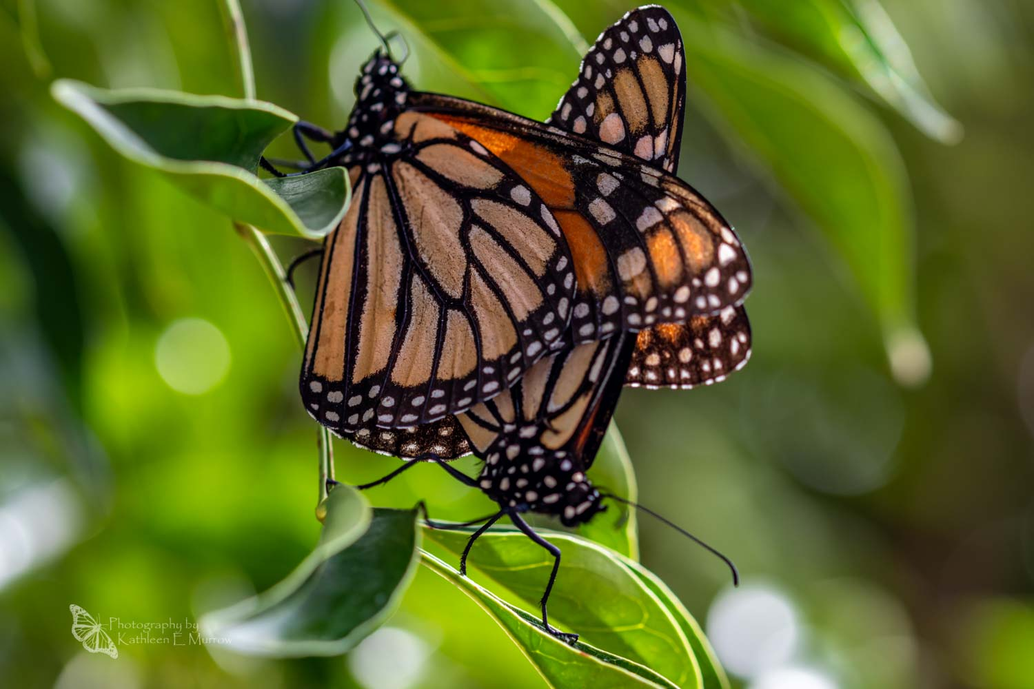 Two monarch butterflies, a male and a female linked together for mating, on the branch of a tree